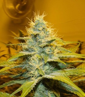 Peak 19 by Sagarmatha Seeds