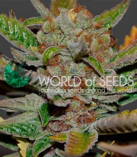 Bubba Haze by World of Seeds