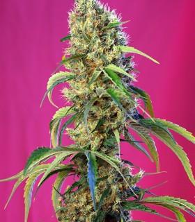 Black Jack CBD by Sweet Seeds
