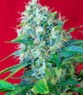 Green Poison by Sweet Seeds