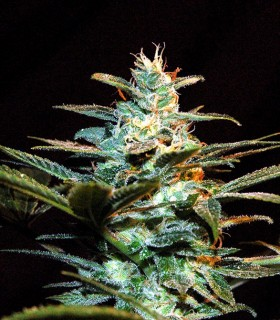 Ice Cool by Sweet Seeds