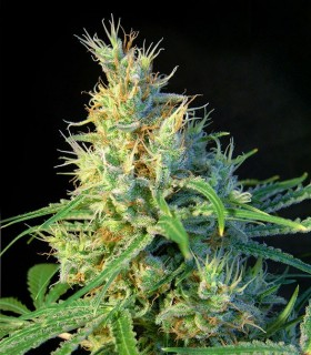 Psicodelicia by Sweet Seeds