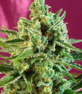 S.A.D. Sweet Afgani Delicious CBD by Sweet Seeds