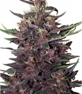 Buddha Purple Kush by Buddha Seeds