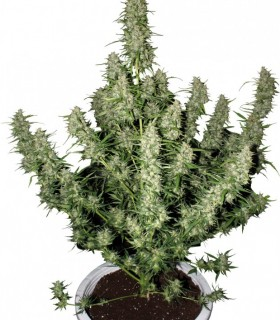 Buy Cannabis Seeds Online at Best Prices | Oaseeds