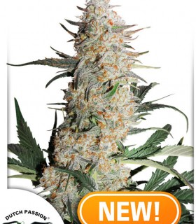 Critical Orange Punch by Dutch Passion Seeds