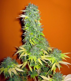 Somango by Seedsman