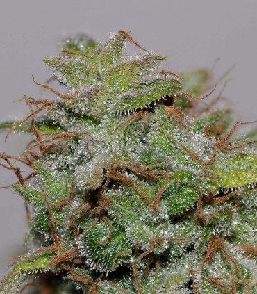 Velvet Bud