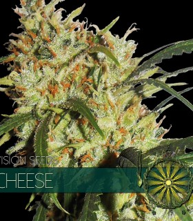 Cheese by Vision Seeds