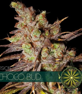 Choco Bud by Vision Seeds