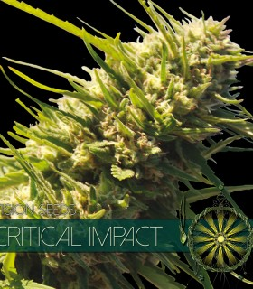Critical Impact by Vision Seeds