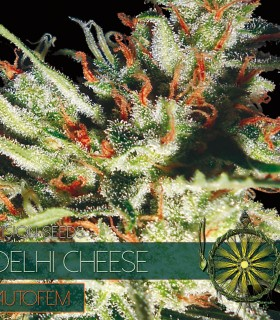 Delhi Cheese Auto by Vision Seeds
