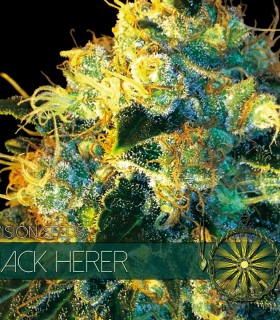 Jack Herer by Vision Seeds