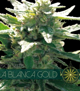 La Blanca Gold by Vision Seeds
