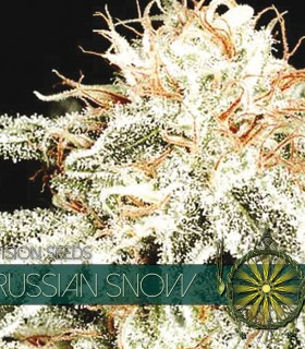 Russian Snow by Vision Seeds