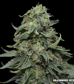 Kabul Express by Kalashnikov Seeds