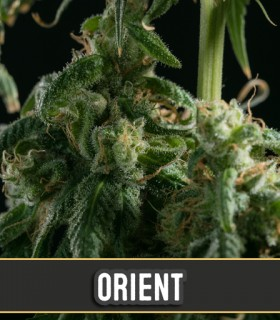 Orient Automatic by Blimburn Seeds