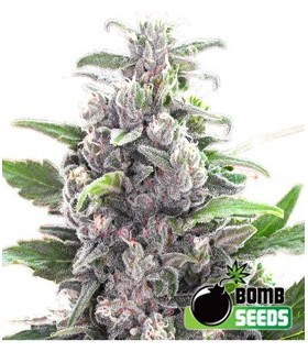 Bomb Seeds THC Bomb by