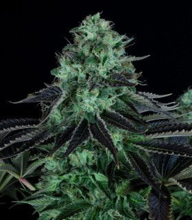 TH Seeds Darkstar