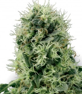 White Label Seeds Pure Power Plant