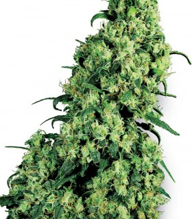 White Label Seeds Skunk 1