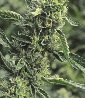 Humboldt Seed Organization OG Kush