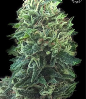 Bulk Seed Bank Green Scout Cookies by