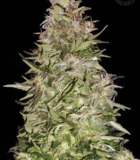 Bulk Seed Bank Auto White Prussian