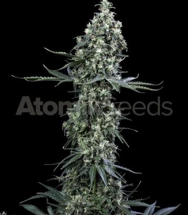 Atomik Seeds Atomik Haze
