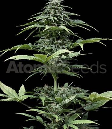 Atomik Seeds Auto Haze