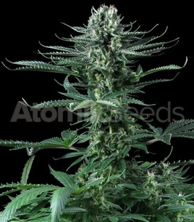 Atomik Seeds Cheese