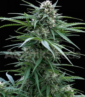 Atomik Seeds Power Skunk