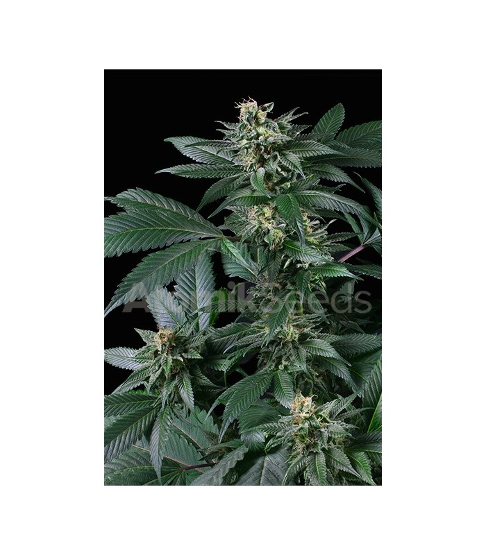 Atomik Seeds Blueberry AK