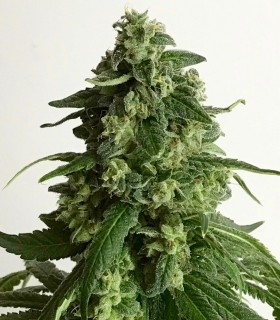 King's Fudge by Pot Valley Seeds