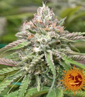 Barneys Farm Seeds Peyote Critical