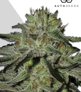 Kush Doctor by Auto Seeds