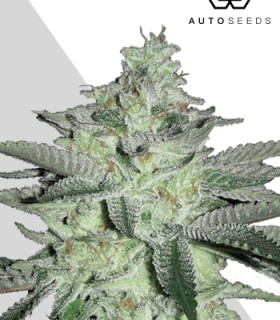 Diesel Berry Auto by Auto Seeds