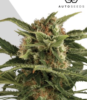 Auto Pounder by Auto Seeds