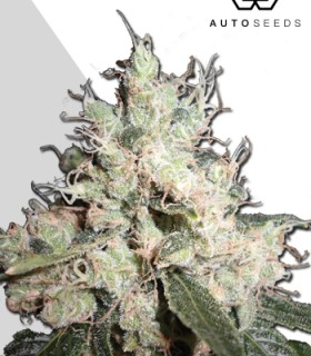 Hijack by Auto Seeds