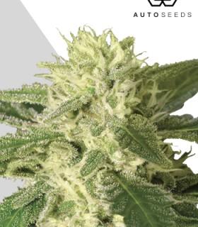 Auto 1 by Auto Seeds