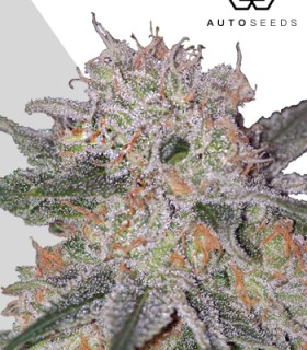 Trans Siberian by Auto Seeds