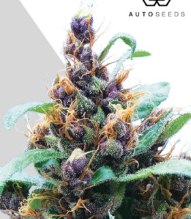 Purple Stilton by Auto Seeds