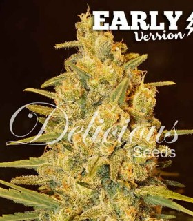 Critical Sensi Star Early Version by Delicious Seeds