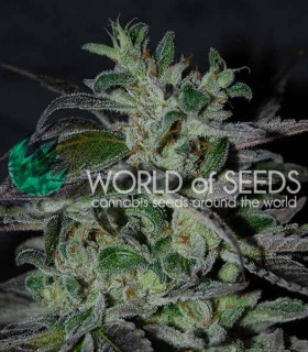 Strawberry Blue Early Harvest by World of Seeds