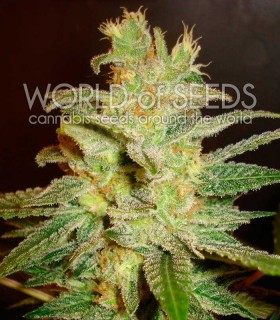 Northern Light X Big Bud Early Harvest by World of Seeds