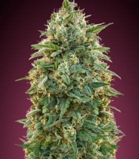 Feminized Cool 5 by Advanced Seeds