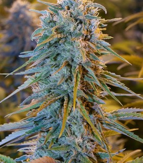 Humboldt Seed Organization Blue Dream