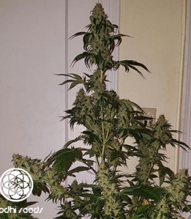 Neroli 91 by Bodhi Seeds