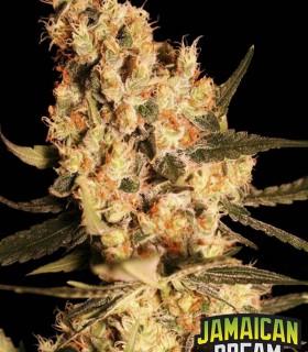 Jamaican Dream by Eva Seeds
