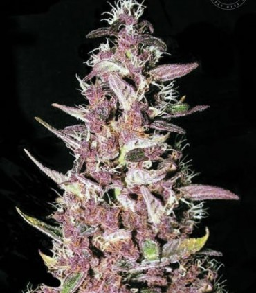 Bulk Seed Bank Purple Glam Kush